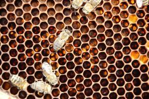 Bienenlarven