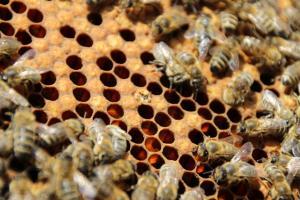 schlüpfende Biene