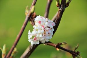 Schneeballblüte